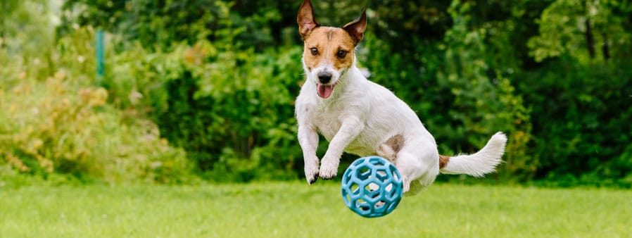 Small dog jumping for a toy