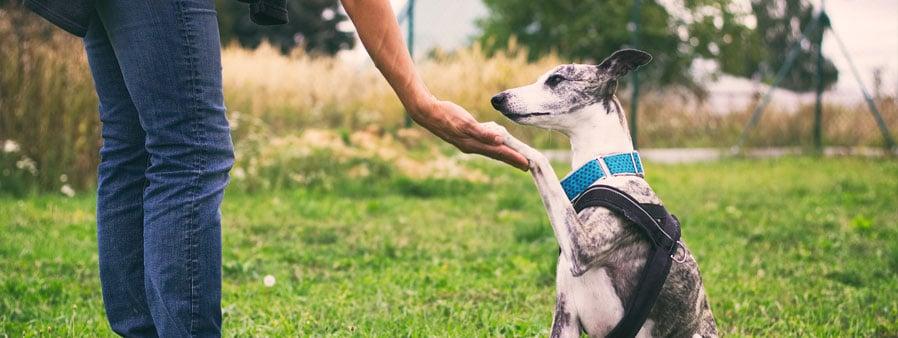 Training a dog to shake hands